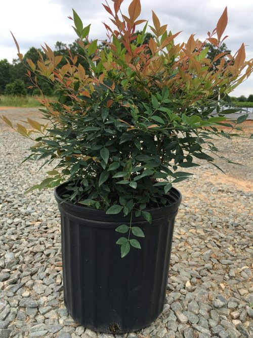 Medium Of Nandina Gulf Stream
