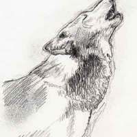 Wolf Sketch - Howling