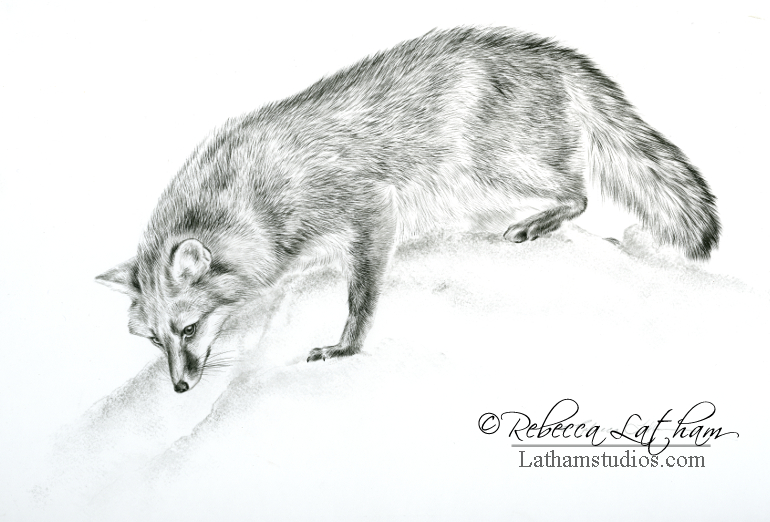 Investigation - Gray Fox, 8in x 11in, Graphite on board, ©Rebecca Latham