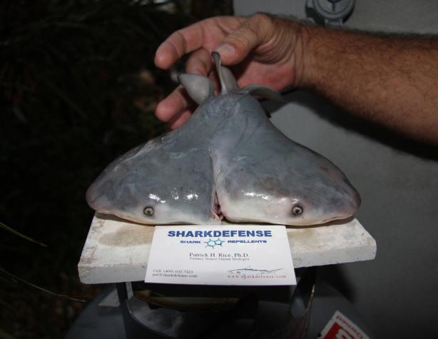 Two-Headed Bull Shark Fetus