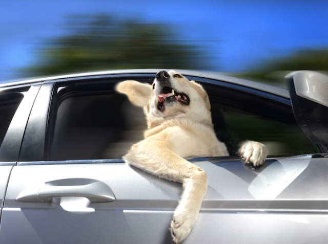 Dogs In Cars  - Yellow Lab