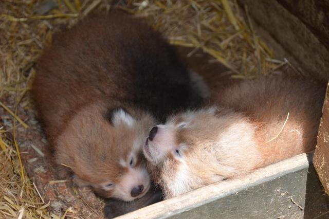 Red Panda twins at Aukland Zoo