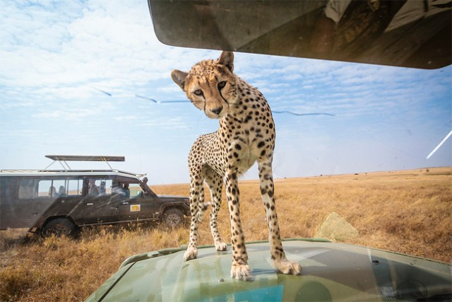 Cheetah Peers Into Vehicle