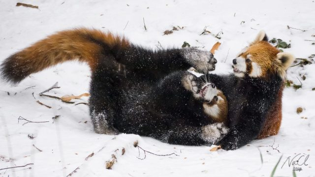 Red Pandas Play In Snow