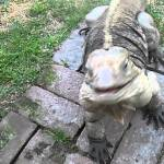 Buddy the Iguana Comes Running Like A Dog When His Human Calls