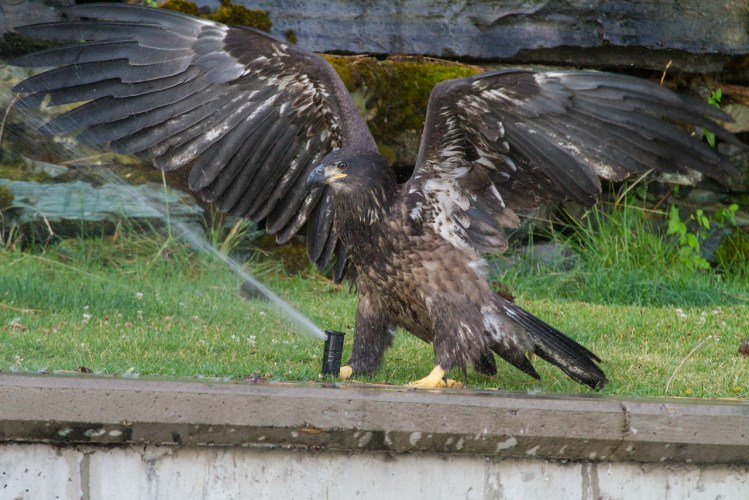 Baby Bald Eagle Wings Spread
