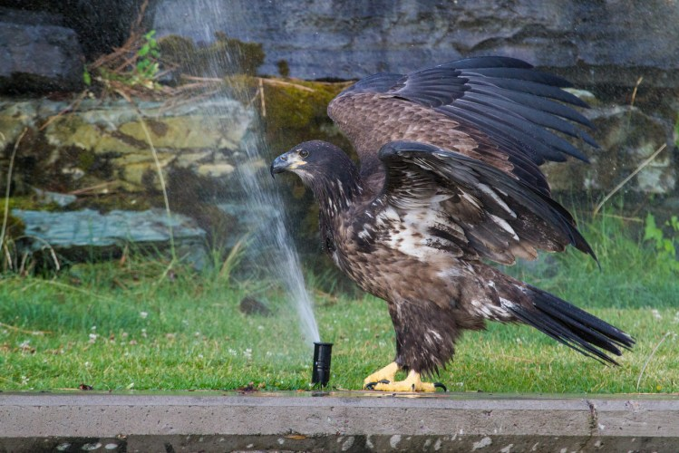 Profile of Baby Bald Eagle