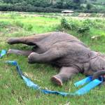 Elephant Happily Entertains Herself With a Large Blue Elastic 'Hula Hoop' at Nature Reserve in Thailand