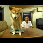 Shiba Inu Dog Refuses to Cooperate with Any of the Odd Situations that Her Human Puts Before Her