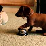 10-Week Old Dachshund Puppy Quickly Figures Out That She'll Get a Treat If She Rings a Bell