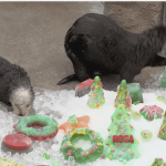 Excited Sea Otters Gleefully Enjoy a Bunch of Colorful Frozen Christmas Treats at the Monterey Bay Aquarium