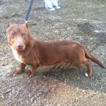An Unusual Dog With a Pit Bull Head and a Dachshund Body Is Up for Adoption in Georgia