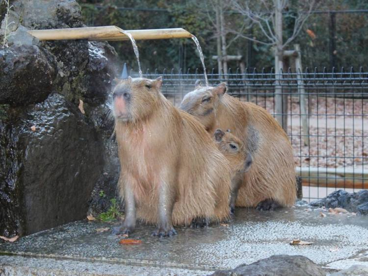 Capybaras Showering