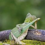 Bucolic Forest Dragon Lizard Appears to Strum a Guitar-Shaped Leaf While Resting Against a Twig