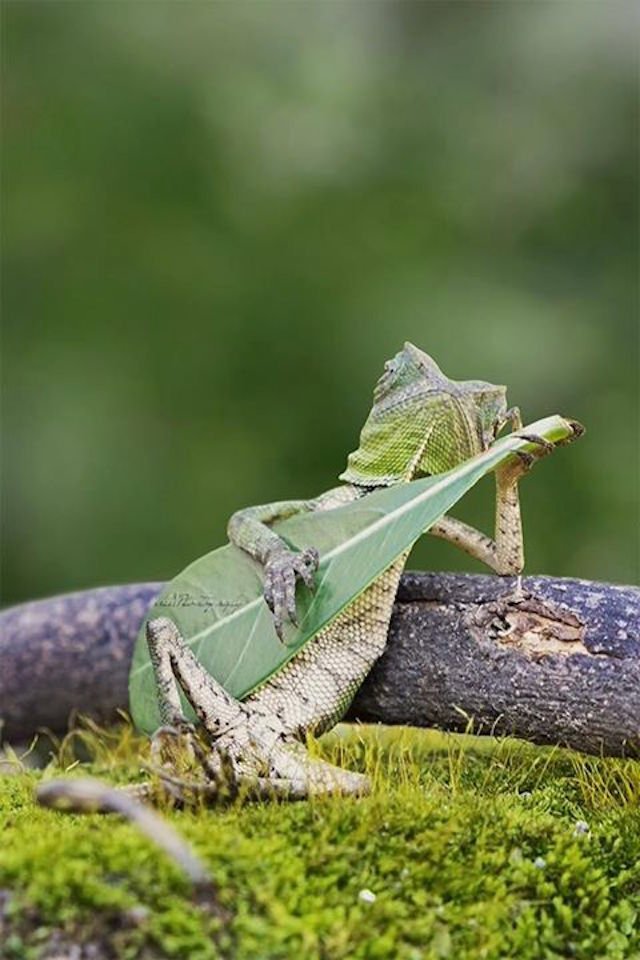 Lizard Playing Leaf Guitar