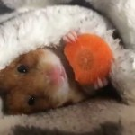 Happy Hamster Chomps Contentedly on a Carrot While Snuggled Sideways in His Bounteous Bed