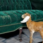 Two Clumsy Baby Goats Repeatedly Attempt to Jump Onto a Green Velvet Sofa