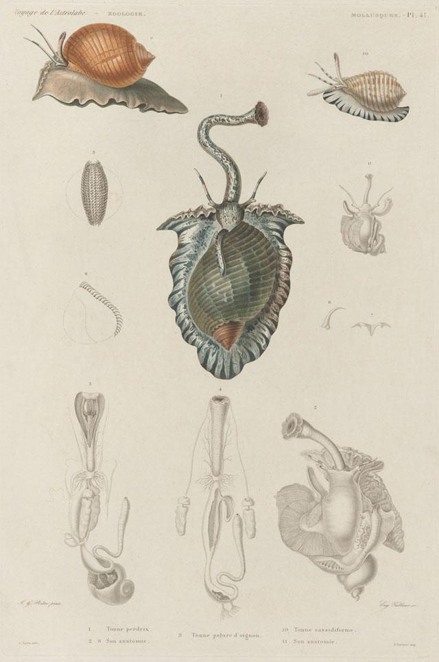 19th century sea mollusk illustrations