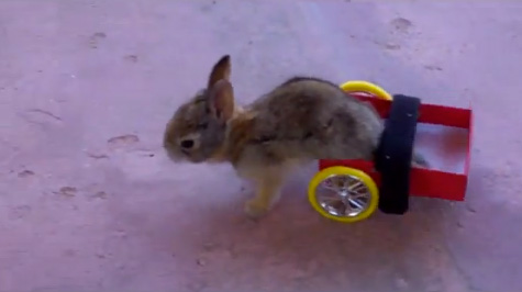 Baby rabbit wheelchair