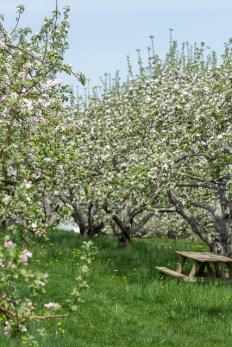 Fleur de pommier. Prise dans aux Vergers Lafrance. | Escapades et idées vacances au Québec