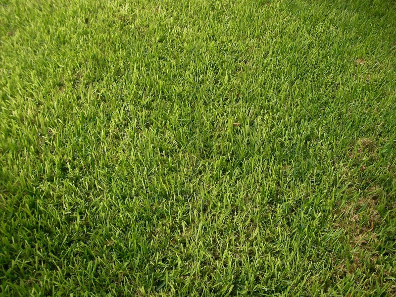 Large Of St Augustine Grass Seed