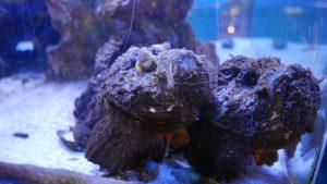 Où est le stone fish...