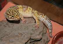 Gus the Leopard Gecko