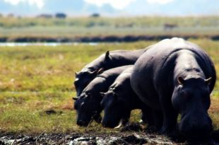 Hippopotamus in Chobe Botswana