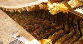 invasion abeilles