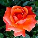Lee-Ann-Torrans-Roses-Easy-Does