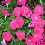 Lee-Ann-Torrans-Texas-Petunias-101