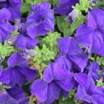 Lee-Ann-Torrans-Texas-Petunias-103