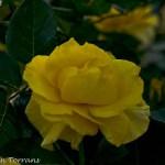 Julia-Child-Texas-Rose