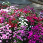 Dianthus - April - Texas Perennial
