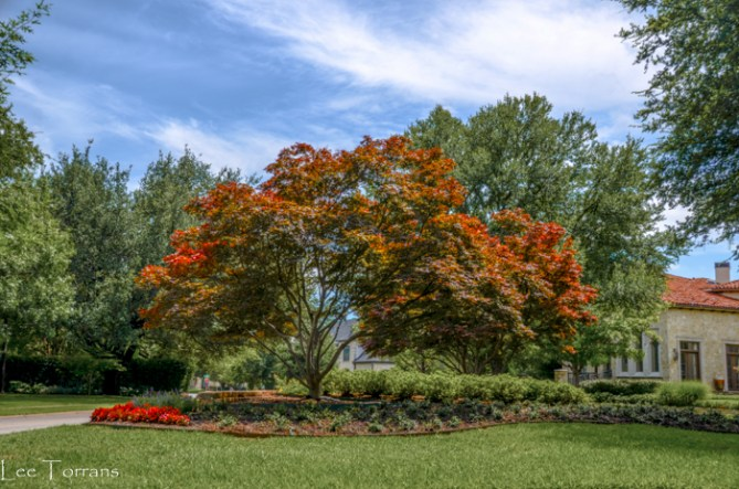 Three_Green_Japanese_Maples_Lee_Ann_Torrans_Dallas_Gardening-3