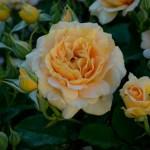 Lee Ann Torrans Texas Roses