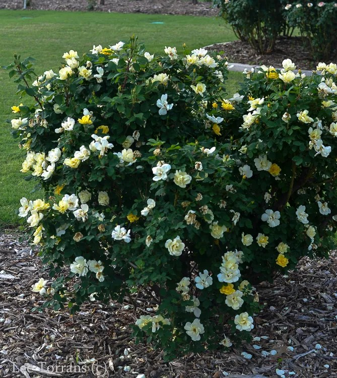 Knockout Roses Lee Ann Torrans Gardeninglee Ann Torrans