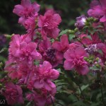 Double Althea Shrub