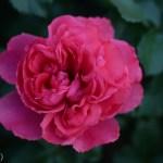Prairie Dream SHrub Rose