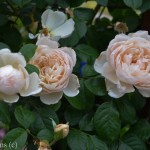 The Good Gardner Climbing Rose