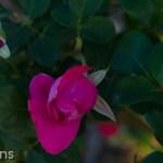 Thomas_Affleck_Shrub_Rose_Texas_Dallas_April-2