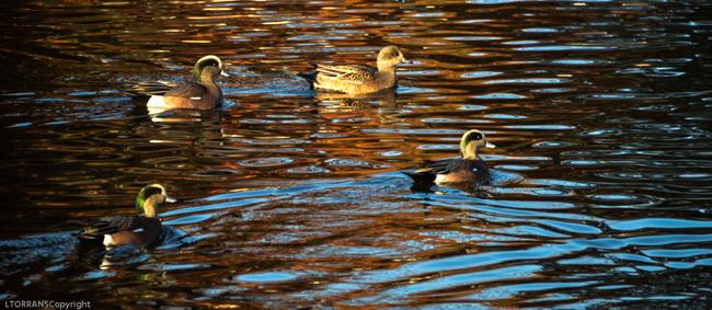 Ducks_Wizard_Wells (1 of 1)-3