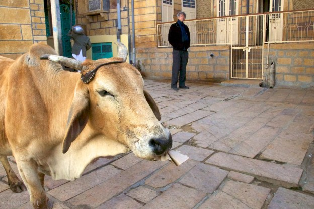 dan and the cow / jaisalmer, india