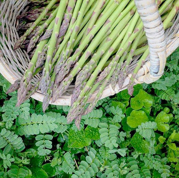 early-morning-asparagus-again-again