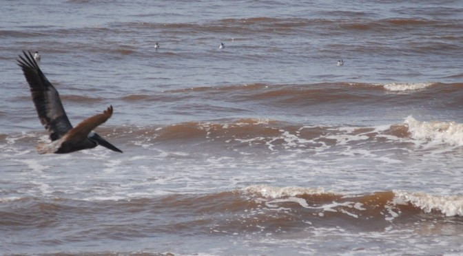 A pelican glides over the waves if the gulf