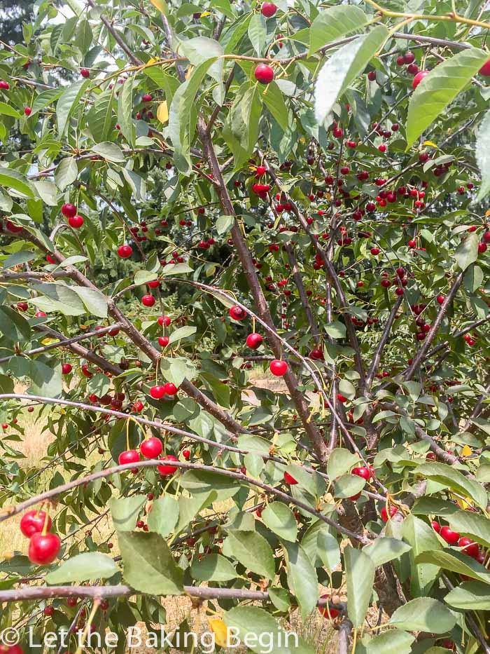Tart Cherries Canned in Their Own Juice - Let the Baking Begin! Let ...