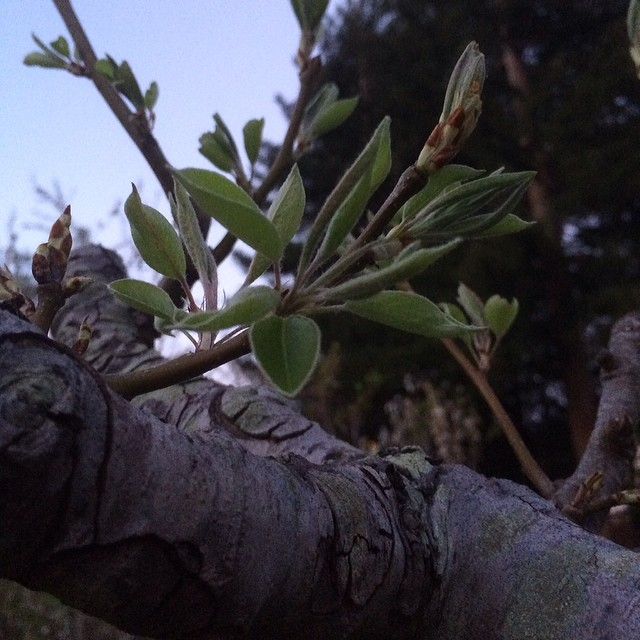 #nofilter #home #pinole #tree #peach #springishere