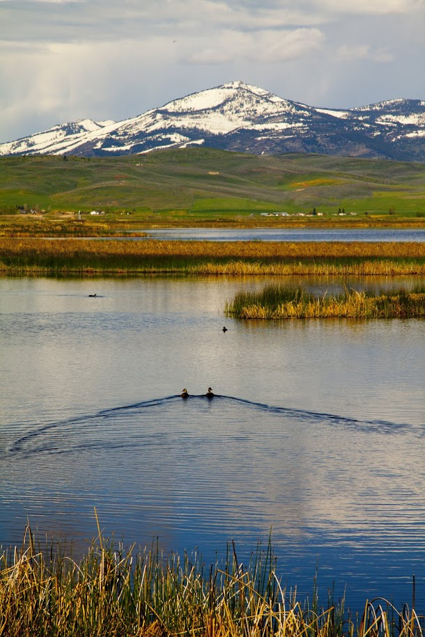 Ducks Swimming Away on the Wildlife Refuge.jpg
