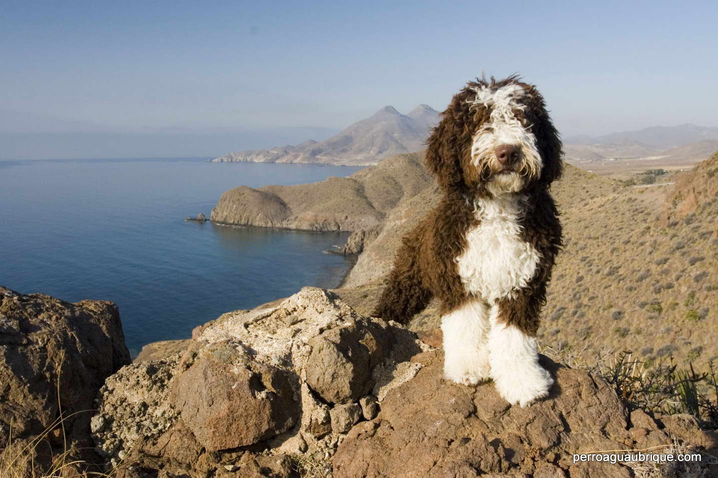 Faq perro de agua espa ol de ubrique - Cuando se puede banar a un perro ...