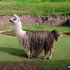 The amazing Llama